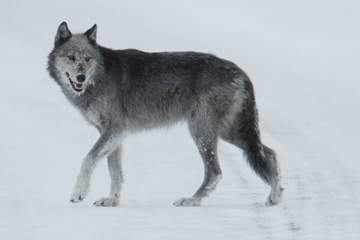 Gray wolf in Yellowstone National Park. Wolves were re-introduced there in the 1990s. Photo courtesy of Yellowstone National Park.