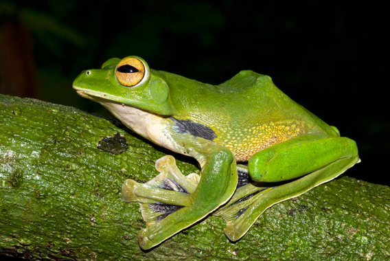 Helen's tree frog. Photo courtesy of Jodi Rowley.