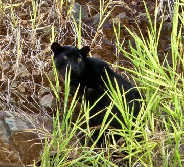 Black leopard near road in the Kenyir Wildlife Corridor. Photo by: William Yap.