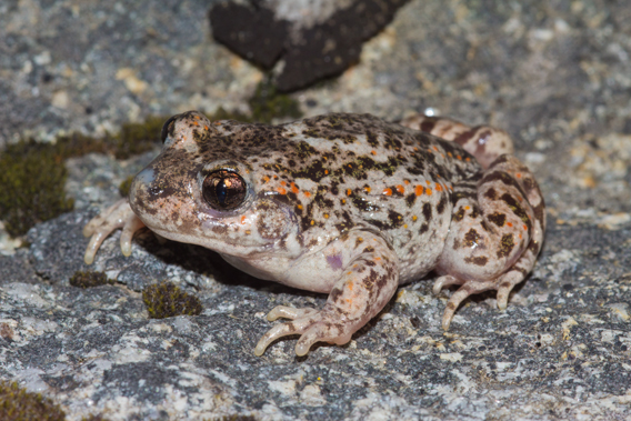 An adult common midwife toad. Photo by: Gonçalo M. Rosa.