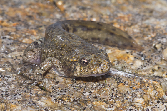 Common midwife toad still sporting a tail shortly after emerging from the tadpole stage. Photo by: Gonçalo M. Rosa.