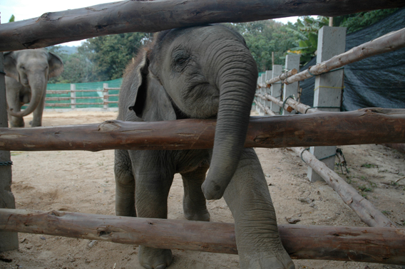 Captive elephants in Thailand. Image courtesy of Donald Tayloe.