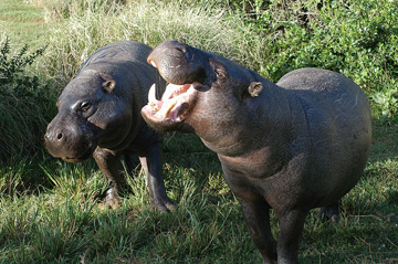 Pygmy hippos in a Kenyan Reserve.