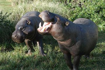Pygmy hippos in a Kenyan Reserve.