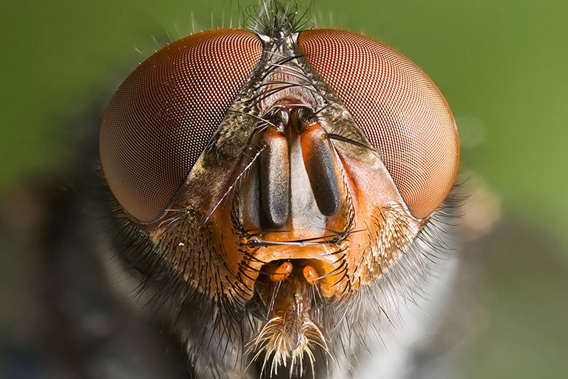 The face of the blue bottle fly (Calliphora vomitoria). New research shows how this carrion-eater carries the mammals of the forest in his stomach. Photo by: J.J. Harrison.