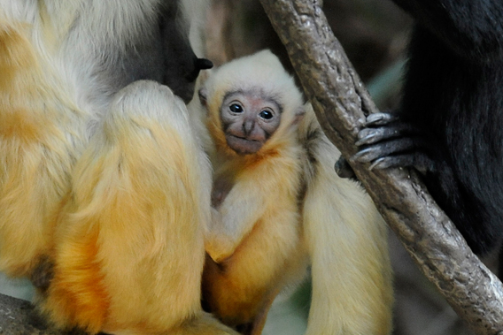 Northern white-cheeked gibbon infant born at the Bronx Zoo. Photo by: Julie Larsen Maher.