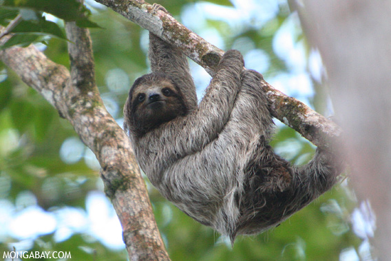 Panamanian Three-toed Sloth (Bradypus variegatus) .