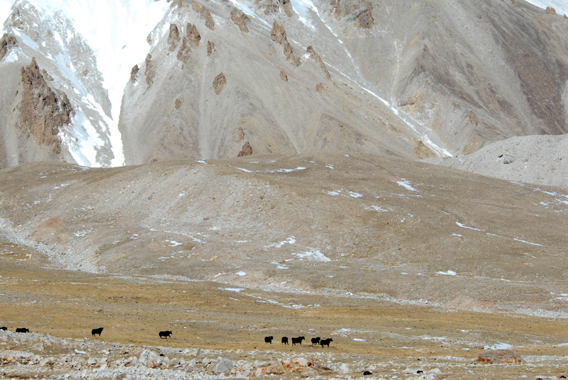 Wider view of wild yaks. Photo by: Joel Berger, WCS/University of Montana.