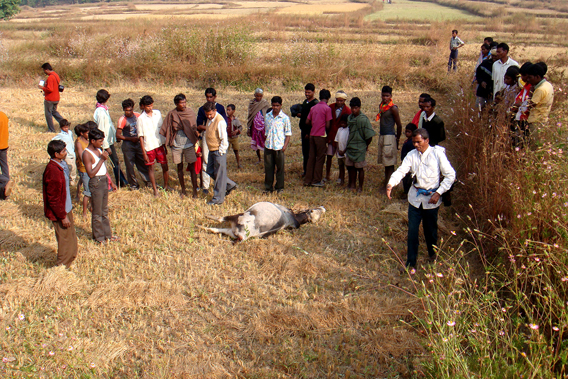 Villagers surround livestock likely killed by predator. Photo by: Harsha, J.