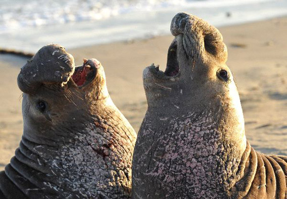 Male elephant seals.