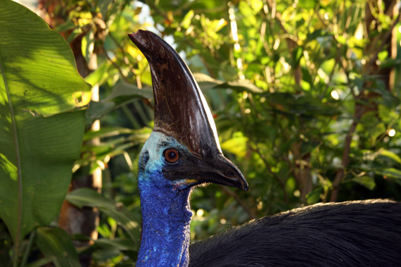Southern Cassowary.