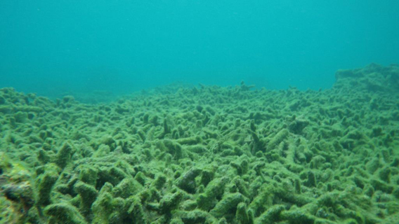 Three weeks after Typhoon Bopha: all the Acropora coral species are dead and covered in algae and sediment. Photo courtesy of ESI.