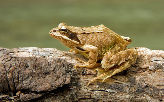 European common frog (Rana temporaria). Photo by: Richard Bartz.
