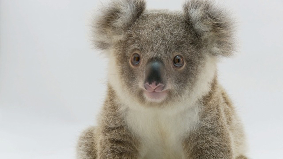 Jimmy, an orphan whose mother was rundown by a car, is the star of the documentary Koala Hospital. Image courtesy of Susan Kelly.