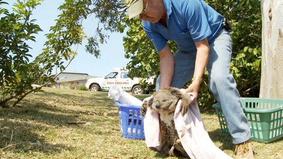 Staff member picks up sick koala. Image courtesy of Susan Kelly.