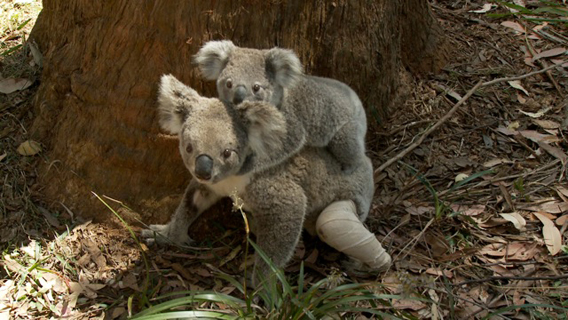 Injured koala mom. Image courtesy of Susan Kelly.