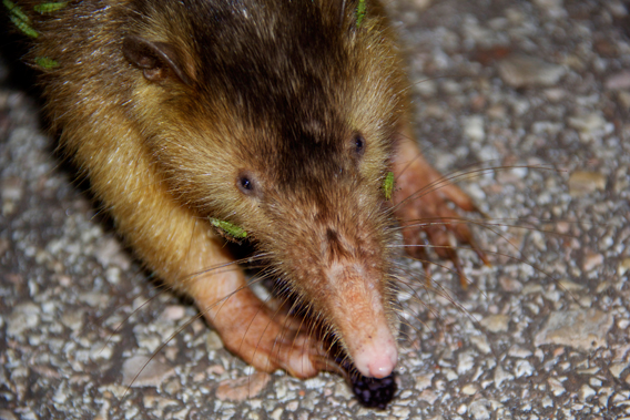 Little-known in the Dominican Republic and abroad, the Hispaniola solenodon is one of strangest and oldest mammals on Earth. Photo by: Tiffany Roufs.
