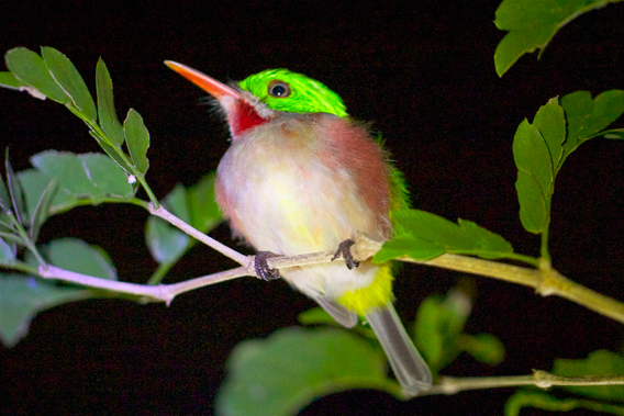 Broad-billed tody (Todus subulatus), a species only found on Hispaniola. Photo by: Tiffany Roufs.