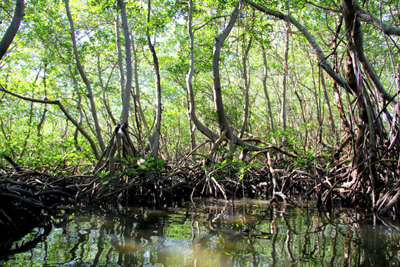 The Dominican Republic has the Caribbean's largest extent of mangroves, many of them in good condition. Photo by: Tiffany Roufs.