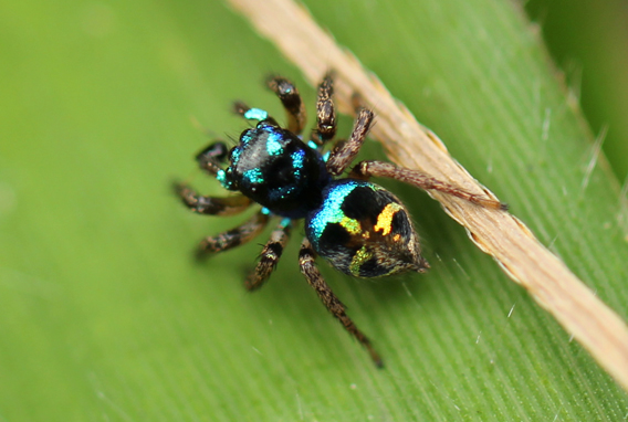 Unidentified mini jumping spider in the cloud forest of the Ebano Verde Scientific Preserve. Photo by: Tiffany Roufs.