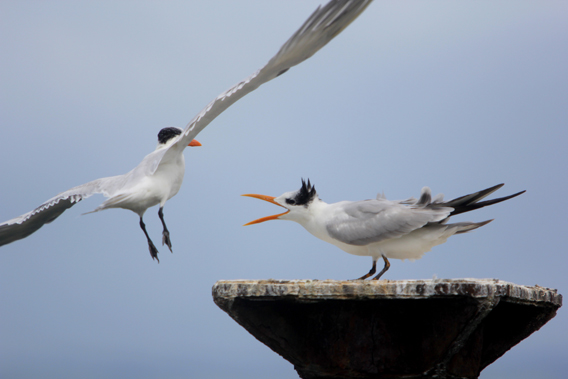 Royal terns squabble in Los Haitises National Park. Photo by: Jeremy Hance.