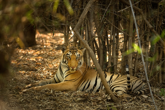 The tiger is a globally endangered top predator occupying only 7% of its historic range and only 3000-3500 individuals are believed to be left in wild. Picture © Kalyan Varma.