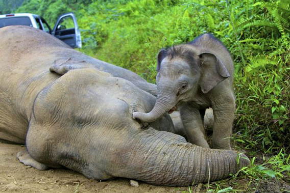 3-month-old Bornean elephant calf next to dead mother. Officials suspect this elephant, and so far 13 others, were poisoned. Photo by: Sabah Wildlife Department.