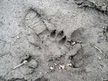 Footprint of a young lioness at the campground in the Harenna forest. Photo courtesy of: Klaus Eulenberger.