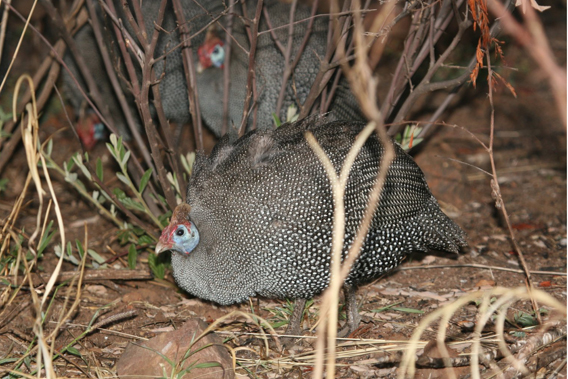 Helmeted guineafowl in native habitat in Pilanesberg