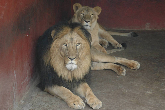 Male and female Addis lions in the Addis Ababa Lion Zoo. Photo courtesy of: Klaus Eulenberger.