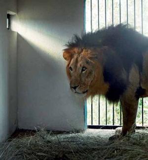 Male Addis lion.