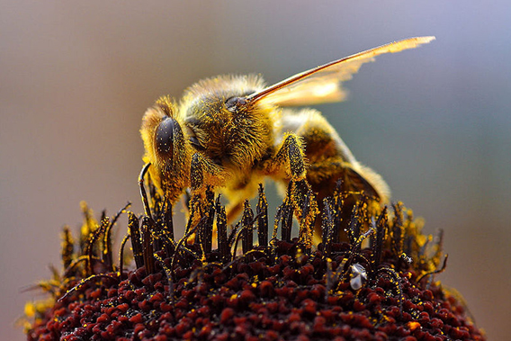 Honey bee (Apis mellifera) collecting pollen. Photo by: Jon Sullivan.