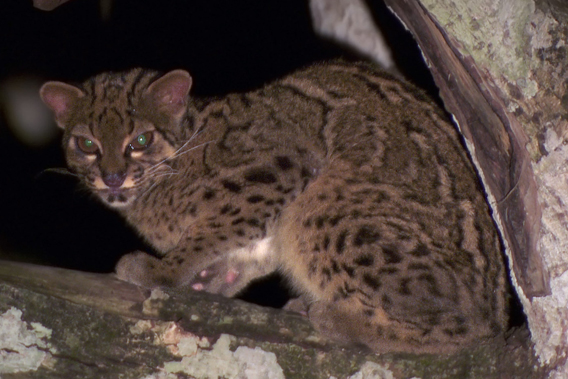 Marbled cat. Photo courtesy of: Jyrki Hokkanen.