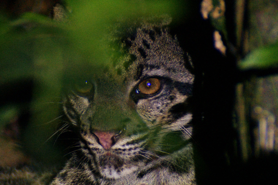 Sunda clouded leopard. Photo courtesy of: Jyrki Hokkanen.
