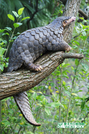 Chinese pangolin at the Taipei Zoo. Photo courtesy of ZSL EDGE. 