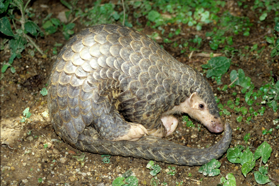The Chinese pangolin is listed as Endangered due to a massively unsustainable, and illegal, trade in their meat and scales. This pangolin is a resident of the Kadoorie Farm and Botanic Garden. Photo courtesy of EDGE ZSL.