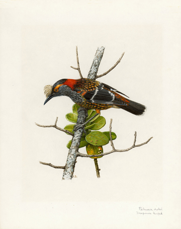 >Akohekohe or the Crested honeycreeper (Palmeria dolei) Drawing by:  © Paul Barruel / WWF.