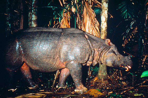 A poster-child for rare species: the Javan rhino (Rhinoceros sondaicus) captured on camera trap in its last stand: Ujung Kulon National Park Java, Indonesia. Photo by:  © Mike Griffiths / WWF-Canon.