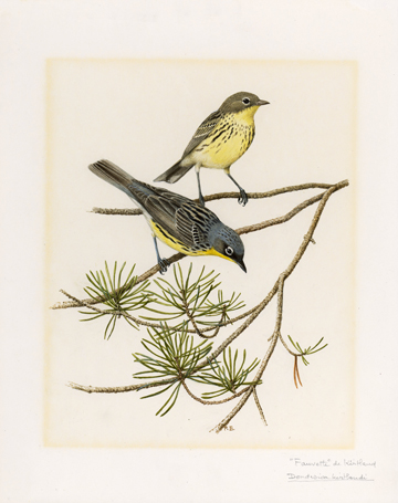 Kirtland's warbler. Around 5,000 of this songbird survive. Drawing: WWF/Paul Barruel.