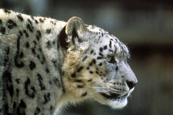Snow leopard (Panthera uncia) is exceedingly rare, and almost impossible to see, although it survives in a massive range. Photo by: © Bruce W. Bunting / WWF-US.