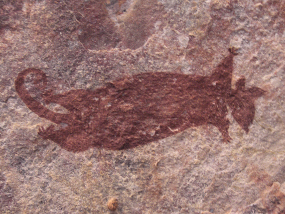 In some areas, Aboriginal rock art depictions is the only evidence that remains of formerly widespread species such as the common brush-tail possum. Photo by: Mark Ziembicki.