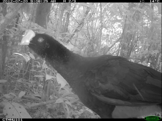 Razor-billed Curassow (Mitu tuberosum) from TEAM's Cocha Cashu site in Manu National Park, Peru. Photo courtesy of the TEAM Network.