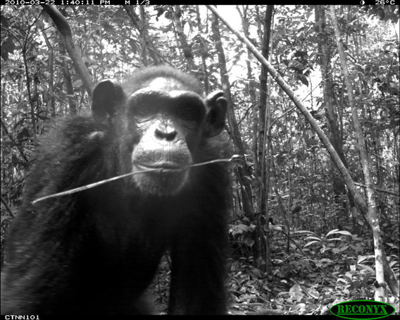 Chimpanzee (Pan troglodytes) from TEAM's site in Nouabale Ndoki National Park, Republic of Congo. Photo courtesy of the TEAM Network.