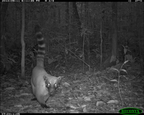 South American coati (Nasua nasua) from TEAM's site in Caxiuana National Forest, Brazil. Photo courtesy of the TEAM Network.