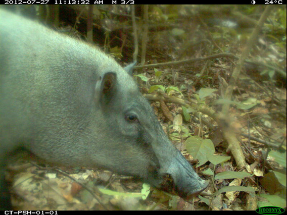 Wild boar (Sus scrofa) from TEAM's site in the Pasoh Forest Reserve, Malaysia. Photo courtesy of the TEAM Network.