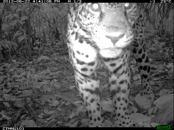 This jaguar (Panthera onca) from TEAM's Cocha Cashu site in Manu National Park, Peru stayed in front of the camera for over 90 photographs, and became the 1,000,000 photograph taken by the TEAM Network.Courtesy of the TEAM Network.