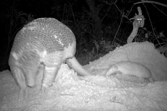 Another view of mother giant armadillo with baby in Baia des Pedras. Photo by: The Pantanal Giant Armadillo Project.