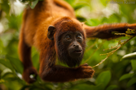 Red howler monkey in the Las Piedras region. Photo by: Mohsin Kazmi.