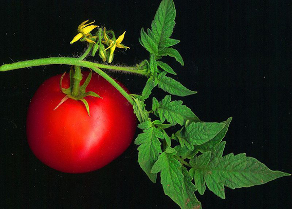 Tomato on the vine. Photo by: David Besa.