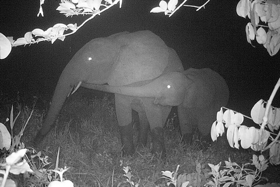 Forest elephant and calf on camera trap. Photo by: TL2.